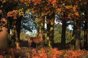 A Red Deer, Cervus Elaphus, in London's Richmond Park by Alex Saberi