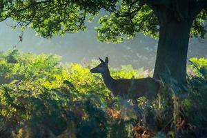 A Red Deer Doe on an Early Autumn Morning in Richmond Park by Alex Saberi