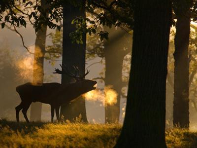A Red Deer Male, Cervus Elaphus, Bellows on a Cold Autumn Morning by Alex Saberi