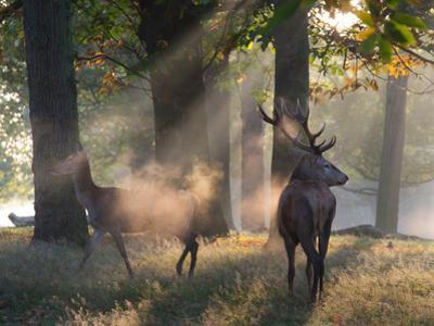 A Red Deer Stag and a Doe Wait in the Early Morning Mists in Richmond Park in Autumn by Alex Saberi