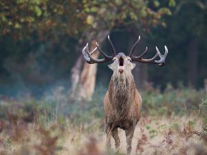 A Red Deer Stag, Cervus Elaphus, Bellows During Rutting Season in London's Richmond Park by Alex Saberi