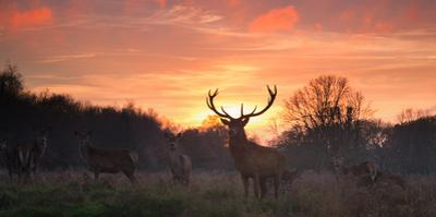 A Red Deer Stag, Cervus Elaphus, Standing in London's Richmond Park by Alex Saberi