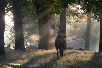 A Red Deer Stag, Cervus Elaphus, Waits in the Early Morning Mists in Richmond Park in Autumn by Alex Saberi