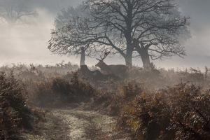 A Red Deer Stag Makes His Way Through a Misty Landscape in Richmond Park by Alex Saberi