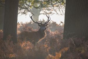 A Red Deer Stag Stands in a Forest in Richmond Park in Autumn by Alex Saberi