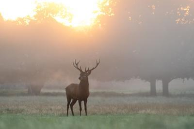 A Red Deer Stag Stands in Autumn Mist at Sunrise by Alex Saberi