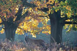A Red Deer Stag Stands under a Colorful Oak in Richmond Park by Alex Saberi