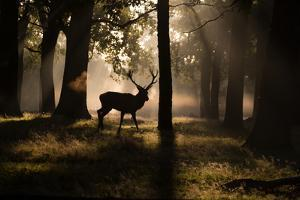 A Red Deer Stag Walks Through a Forest in the Early Morning Mist in Richmond Park in Autumn by Alex Saberi