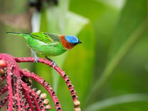 A Red-Necked Tanager Feeds from the Fruits of a Palm Tree in the Atlantic Rainforest by Alex Saberi