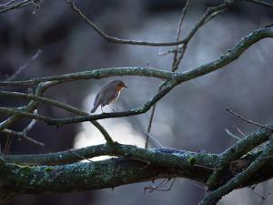 A Robin on a Tree Branch at Sunrise in Winter by Alex Saberi