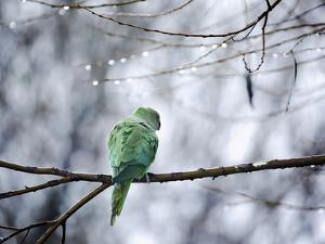 A Rose-Ringed Parakeet, Psittacula Krameri, on a Branch in Winter by Alex Saberi