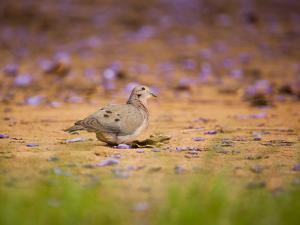 A Ruddy Ground Dove Forages Through Fallen Purple Flowers in Sao Paulo's Ibirapuera Park by Alex Saberi