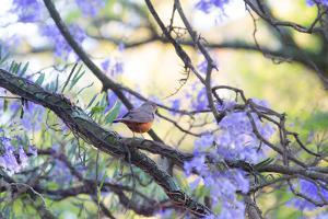 A Rufous Bellied Thrush, Turdus Rufiventris, on a Jacaranda Tree Branch in Ibirapuera Park by Alex Saberi
