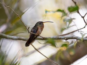 A Rufous-Breasted Hermit Perching on a Tree Branch in the Atlantic Rainforest by Alex Saberi