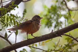 A Rufous Hornero Bird, Furnarius Rufus, Sits in a Tree at Sunset in Ibirapuera Park by Alex Saberi