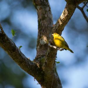 A Saffron Finch, Sicalis Flaveola, Sits on a Branch in Ubatuba, Brazil by Alex Saberi