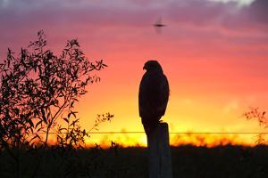 A Savanna Hawk, Buteogallus Meridionalis, Perching on a Fence Post by Alex Saberi