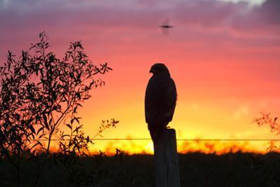A Savanna Hawk, Buteogallus Meridionalis, Perching on a Fence Post