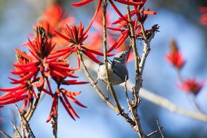 A Sayaca Tanager, Thraupis Sayaca, Feeds in a Coral Tree in Ibirapuera Park by Alex Saberi