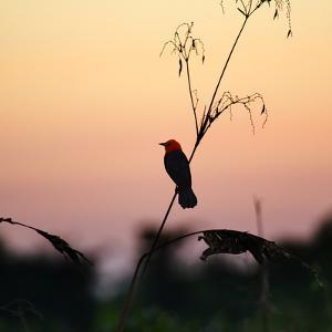 A Scarlet-Headed Blackbird, Amblyramphus Holosericeus, at Sunset by Alex Saberi