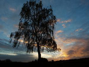 A Silver Birch, Betula Pendula, at Sunset by Alex Saberi