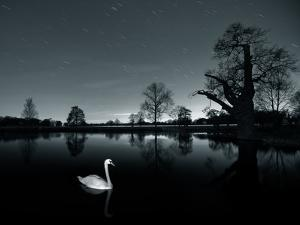 A Solitary Mute Swan, Cygnus Olor, Swimming in a Pond by Alex Saberi