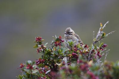 A Sparrow in Torres Del Paine National Park