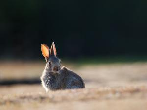 A Spring Rabbit, Oryctolagus Cuniculus, in the Evening by Alex Saberi
