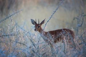 A Steenbok, Raphicerus Campestris, Stands Next to a Spiny Acacia Bush by Alex Saberi