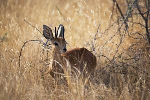 A Steenbuck, Raphicerus Campestris, Stands in Tall Grass at Sunset by Alex Saberi