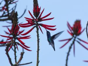 A Swallow-Tailed Hummingbird, Eupetomena Macroura Feeds on a Flower of a Coral Tree by Alex Saberi