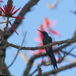 A Swallow Tailed Hummingbird, Eupetomena Macroura, Resting in a Tree by Alex Saberi