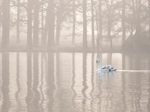 A Swan Glides Through Pen Ponds in Richmond Park at Sunrise by Alex Saberi
