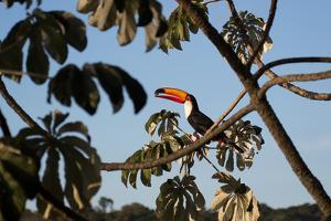 A Toco Toucan Feeds in a Tree Near Iguazu Falls at Sunset by Alex Saberi