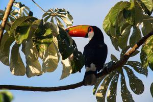 A Toco Toucan in a Tree Near Iguazu Falls at Sunset by Alex Saberi