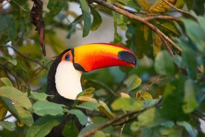 A Toco Toucan Perches in a Tree Near Iguazu Falls at Sunset by Alex Saberi