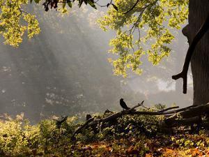 A Western Jackdaw, Corvus Monedula, in a Misty Autumn Landscape by Alex Saberi