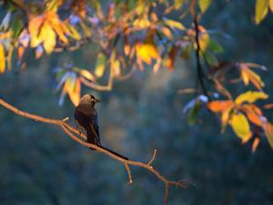 A Western Jackdaw, Corvus Monedula, on a Branch at Sunrise by Alex Saberi