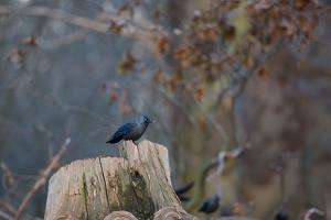 A Western Jackdaw with a Chestnut in its Beak Sits on a Tree Stump on an Early Winter Morning by Alex Saberi