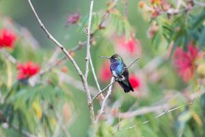 A White-Chinned Sapphire Hummingbird (Hylocharis Cyanus) Perches on a Branch in Brazil by Alex Saberi
