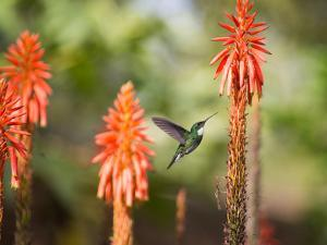 A White-Throated Hummingbird Feeds from Flower in Ibirapuera Park by Alex Saberi