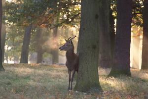 A Young Red Deer Stag, Cervus Elaphus, Stands by a Tree in Morning Mist in Richmond Park by Alex Saberi