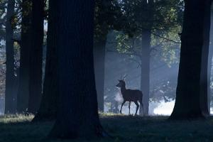 A Young Red Deer Stag Stands in a Forest in Morning Mist in Richmond Park by Alex Saberi