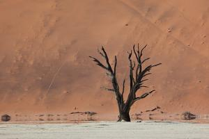An Acacia Tree and Sand Dune in Namibia's  Namib-Naukluft National Park by Alex Saberi