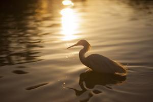 An Egret at Sunset on Ibirapuera Park Lake by Alex Saberi