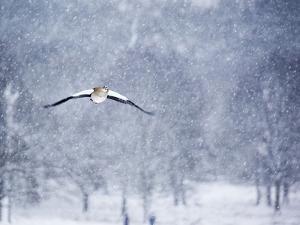An Egyptian Goose, Alopochen Aegyptiacus, Takes a Cold, Snowy Flight by Alex Saberi
