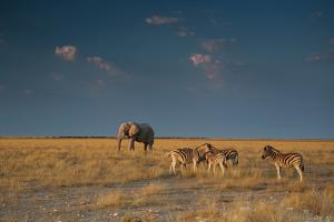 An Elephant, Loxodonta Africana, and Zebras in Grassland at Sunset by Alex Saberi