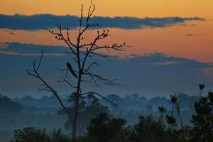 An Indian Peacock in a Tree at Sunrise by Alex Saberi