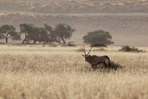 An Orix Grazing in the Namib-Naukluft National Park at Sunset by Alex Saberi