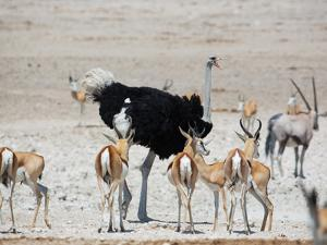 An Ostrich and Group of Springbok at a Watering Hole in Etosha National Park, Namibia by Alex Saberi